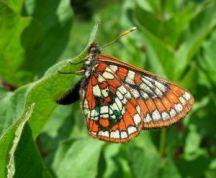 Euphydryas gillettii